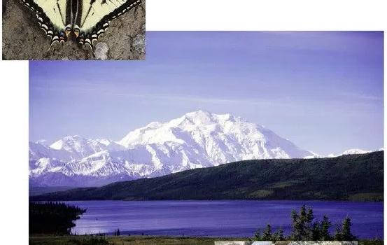 Butterflies of Alaska, A Field Guide